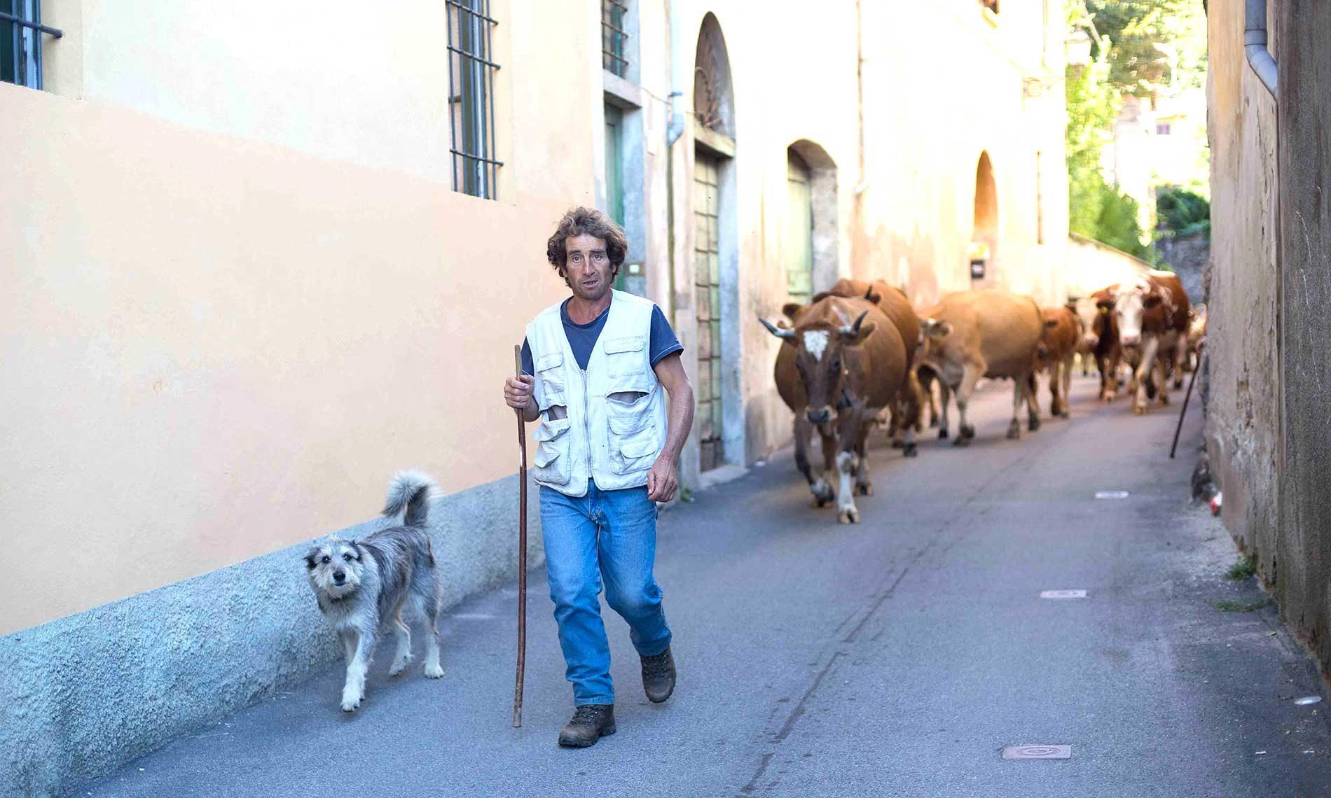 Passaggio delle mucche ad Ameno